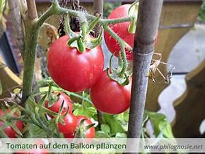 Tomaten Wann Pflanzen : tomaten auf dem balkon pflanzen anbauen philognosie ~ Frokenaadalensverden.com Haus und Dekorationen