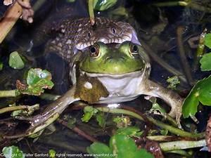 Northern Watersnake (eating a frog) | walter sanford's ...