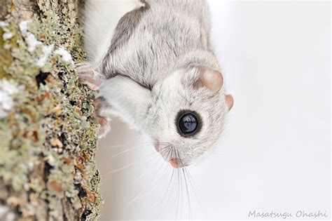 japanese  siberian flying squirrels