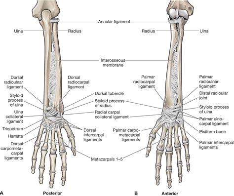 Picture of the achilles tendon. The Forearm, Wrist, and Hand | Musculoskeletal Key