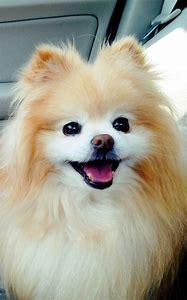 Boo Cute Pomeranian Puppies