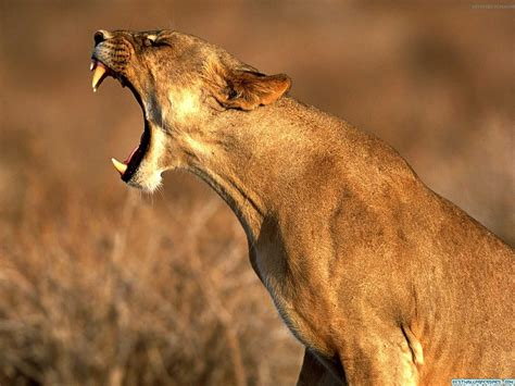 Lion Hd Wallpapers African Lions Pictures Animal Photo