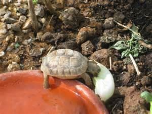 Baby Desert Tortoise Habitat