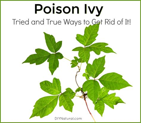 how to get rid of poison sumac top 28 how to get rid of poison oak how to get rid of poison ivy bob vila natural way to