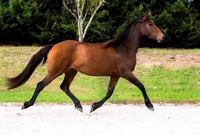 Horse Friesian Horses Sport Flirtini Mare Sold