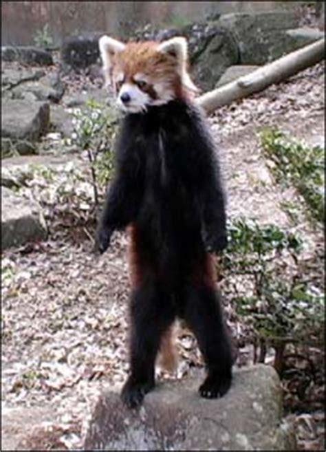 cryptomundo japans standing panda  video