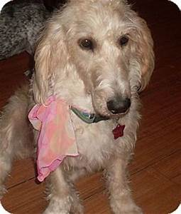 Dolly | Adopted Dog | Foster, RI | Poodle (Standard ...