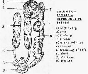 Comparision  Female Reproductive System Of Bird  Rabbit