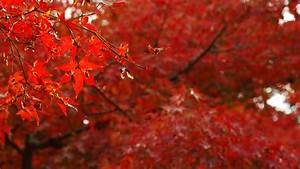 Japanese Maple Tree wallpaper - 1050729
