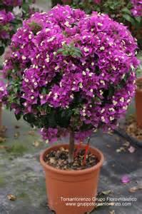 care of bougainvillea in pots 25 best ideas about bougainvillea tree on mediterranean houses style