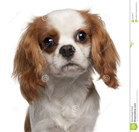Closeup Of Cavalier King Charles Spaniel Stock Image