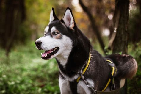 siberian husky dogs breed information omlet