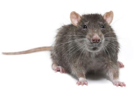 picture of a rat rat control nyc rat control nj rat exterminator nyc