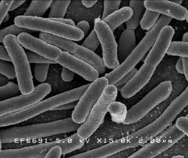 Escherichia coli - Wikipedia Vitamin E