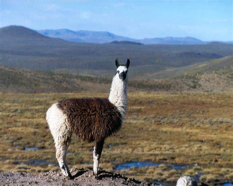 Wonderful Llama Photo by Llama Photo Ecuador Search Llama Llama Alpaca
