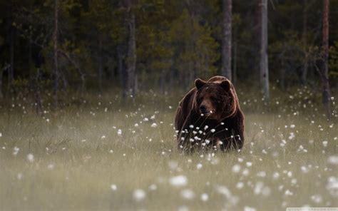 forest bear  hd desktop wallpaper   ultra hd tv