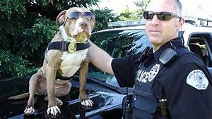 Pit Bull on the Police Force? Meet Kiah!