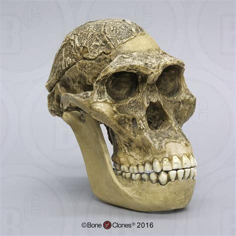 "Australopithecus africanus Skull Sts 5 ""Mrs. Ples"" - Bone ..."