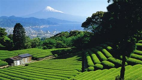 countries producing tea largest japan most popular famous