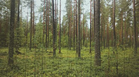 Vienkārši par mežu: Jauaudžu kopšana