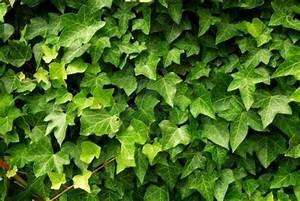 Giardinaggio rimedi naturali edera