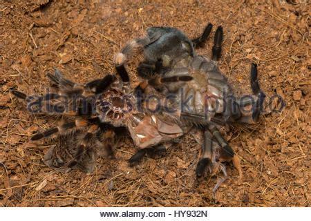 tarantula shedding skin time lapse 100 tarantula shedding its exoskeleton spider