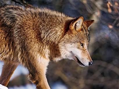 Wolf Snow Wolves Walking Brown Flickr Eyes