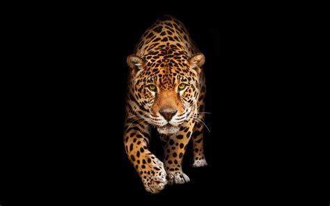 Jaguar Animal Hd Wallpapers - cat jaguar hd wallpapers hd wallpapers id 22872