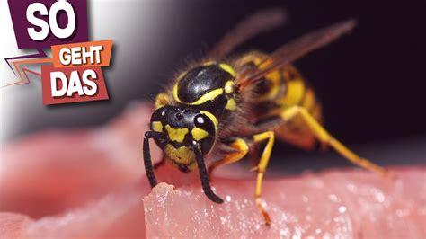 was hilft gegen wespennest was wirklich gegen wespen hilft