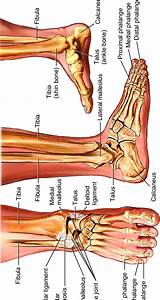 1  U2014 Bony Anatomy Of The Foot And Ankle