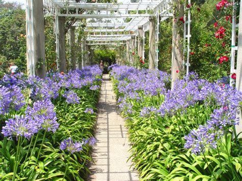 agapanthus garden tips on growing big colorful flowers diy