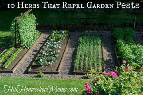 10 Herbs That Repel Garden Pests  Jill's Home Remedies