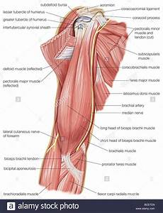 The Muscles Of The Human Upper Arm  As Well As The Cutaneous Nerve Stock Photo  24899413
