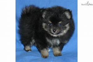 Tan Teacup Pomeranian
