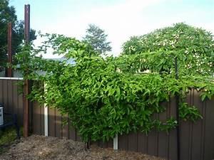 Passionfruit Black Vine - Passiflora edulis