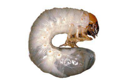 rid  grubsnaturally nematodes