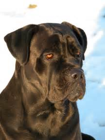 top 10 large dog breeds bunkblog part 3