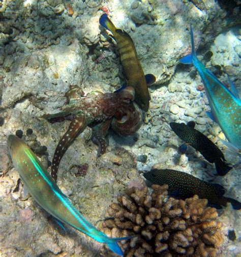 indian snorkelling cod octopus rock fin groupers jacks coral