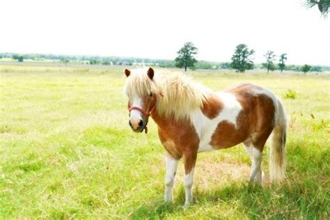 horse miniature service breeds animals common america college mini brown place american put restrictions publicdomainpictures