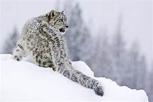 Snarling Snow Leopard Photograph by Paul Burwell