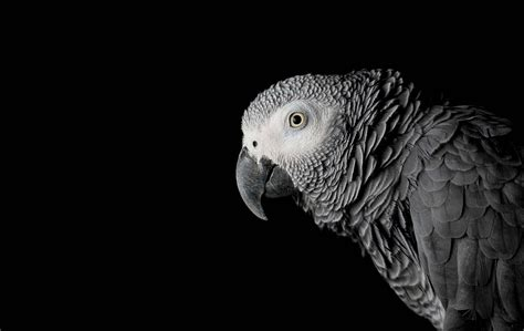 Let Bodies Hit The Floor Parrot by 100 Bodies Hit The Floor Parrot Grey Parrot