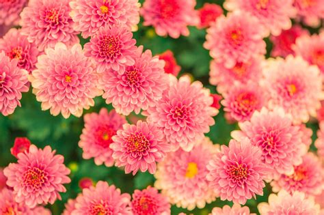 Flower Image Pink And Yellow Petaled Flower Photo 183 Free Stock Photo