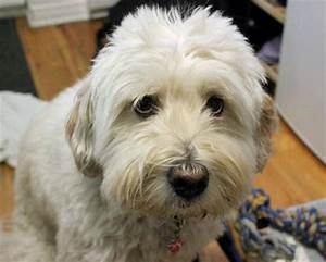Elliot the Mixed Breed (Wheaten mix?) - really looks like ...