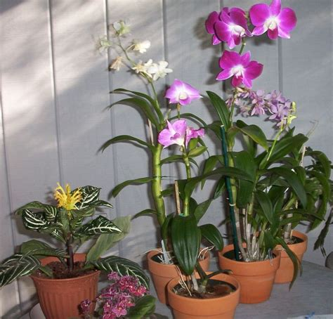 orchid care indoor 25 best ideas about caring for orchids on pinterest orchids orchid plant care and orchid care