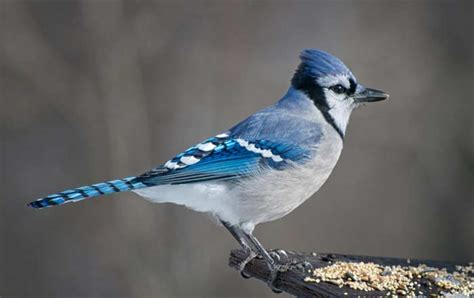 what are some interesting facts about blue jays joy of