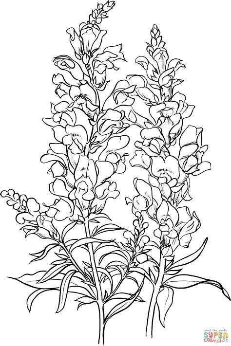 antirrhinum majus  common snapdragon coloring page