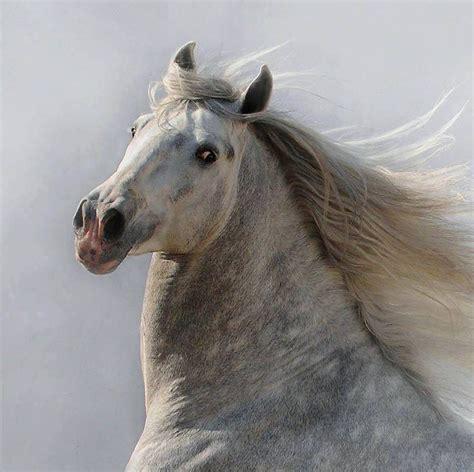 horse andalusian horses dapple grey