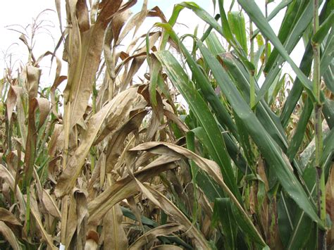 Ancient maize varieties provide modern solution to tar ...
