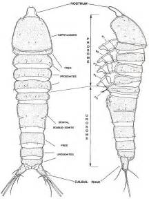 Basic Body Plan Of Harpacticoid Copepods  Huys Et Al