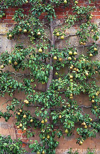pear espalier 232 best images about espalier on pinterest gardens trees and pears
